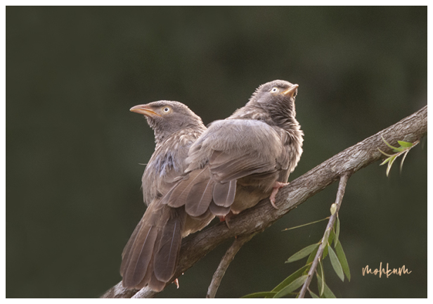 bird jungle babbler