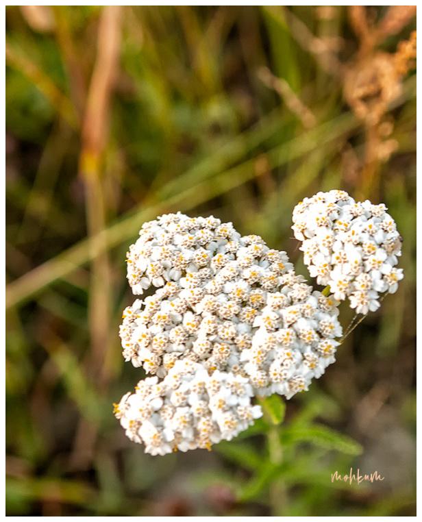 flower inflorescence tallinn