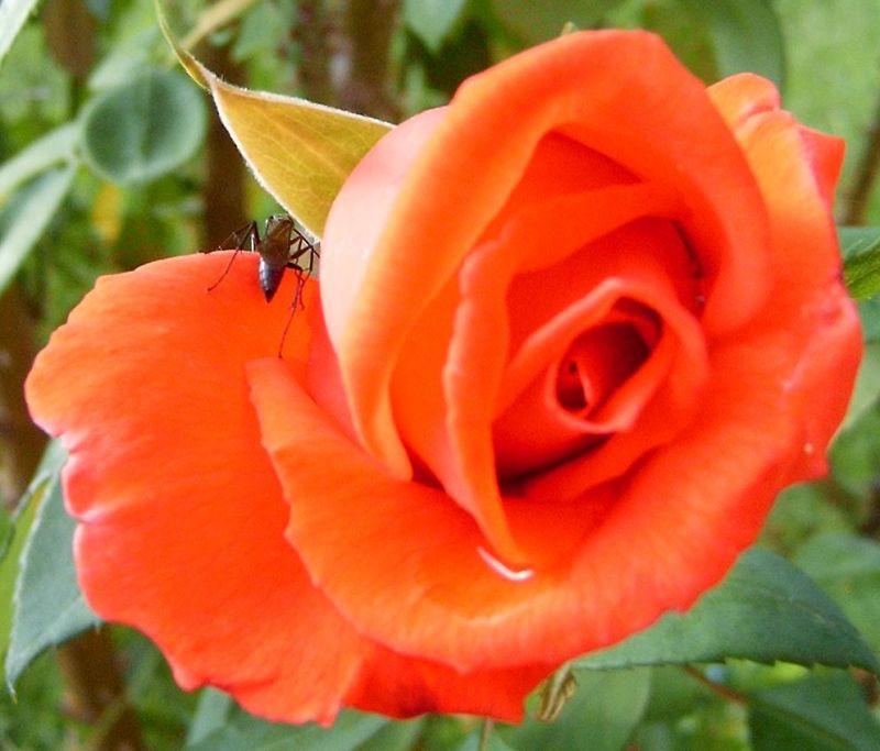 A Rosa e ....