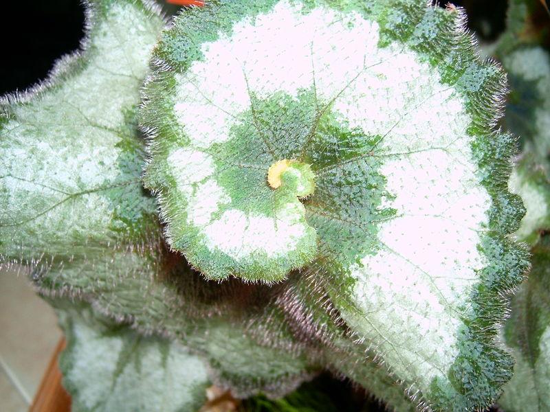 Begónia verde