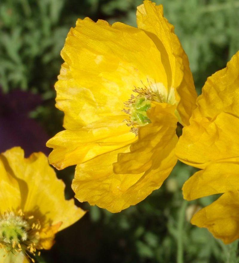 Papoilas amarelas