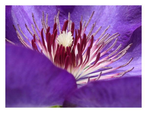 Flor (Clematis)