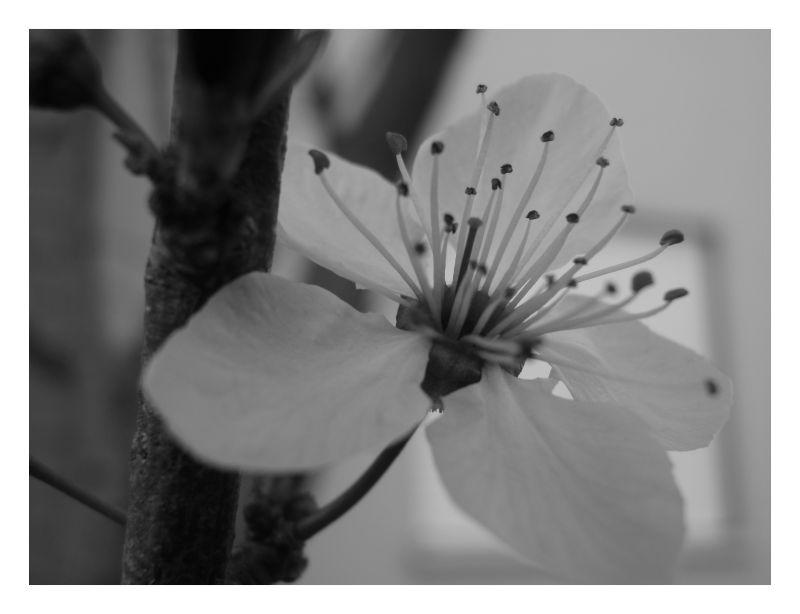 Flor de ameixeira