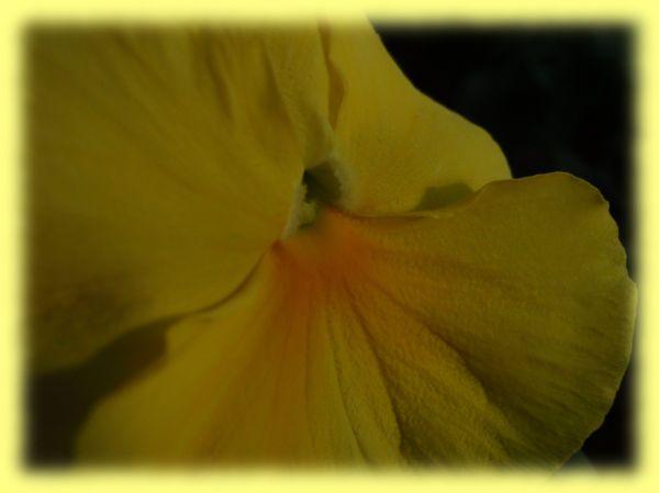 Amor-perfeito amarelo
