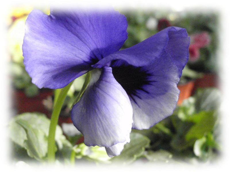 Amor-perfeito azul