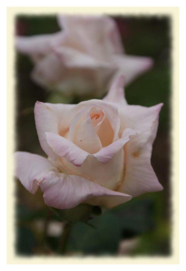 Uma rosa para todas as mães