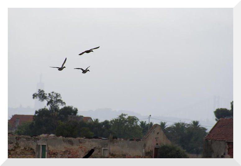 O voo dos patos