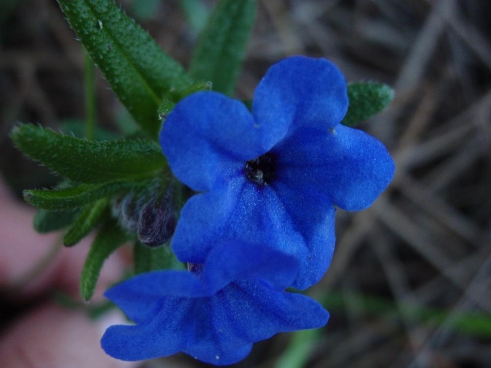 São simples flores azuis do campo.