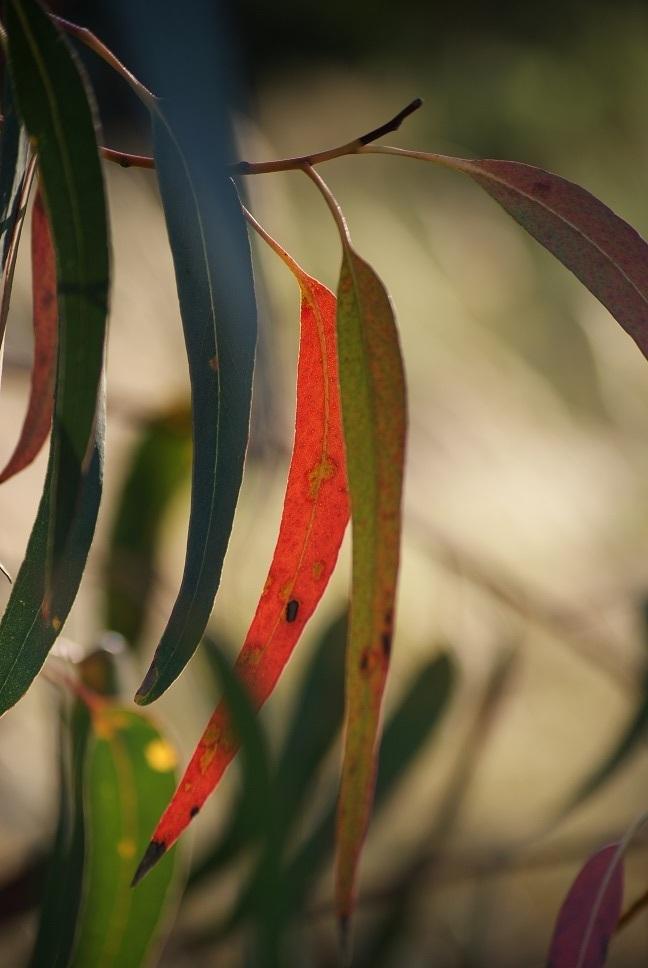 folhas de eucalipto