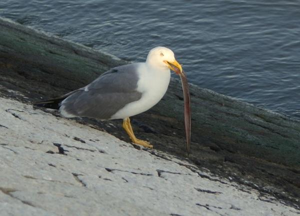 o almoço da gaivota