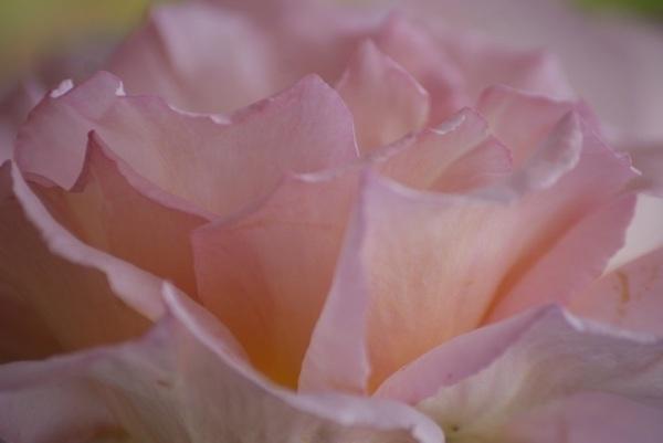 ondas de rosa