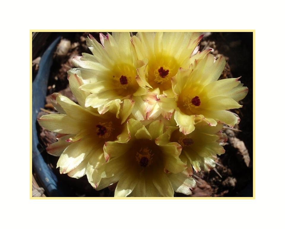 flores de cato