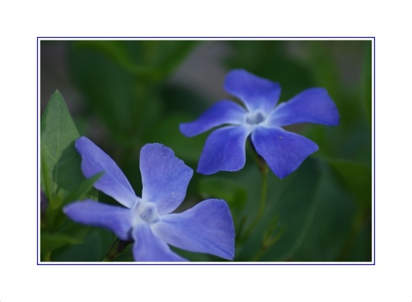 mais flores