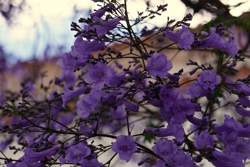 As primeiras flores dos jacanradás