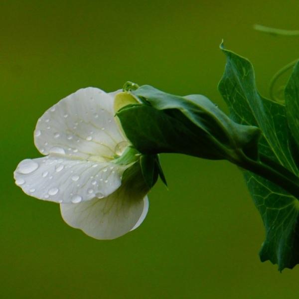 Gotas na flor