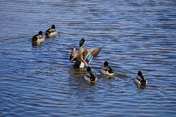 Todos os patinhos sabem bem nadar