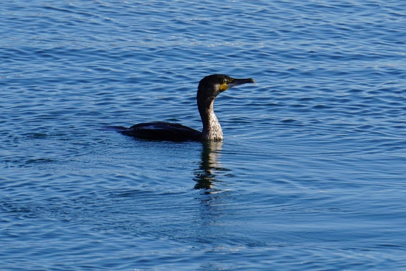 Corvo marinho (1)