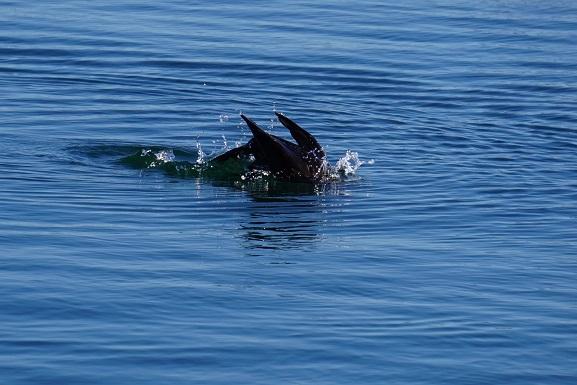 Corvo marinho (2)