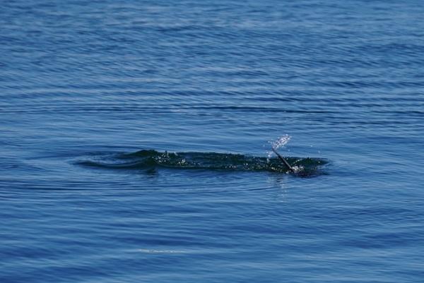 Corvo marinho (3)