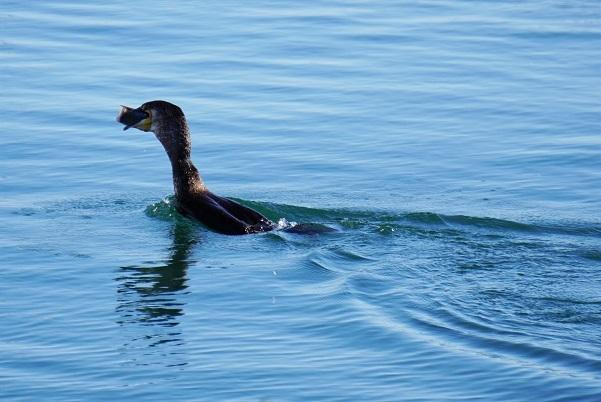 Corvo marinho (4)