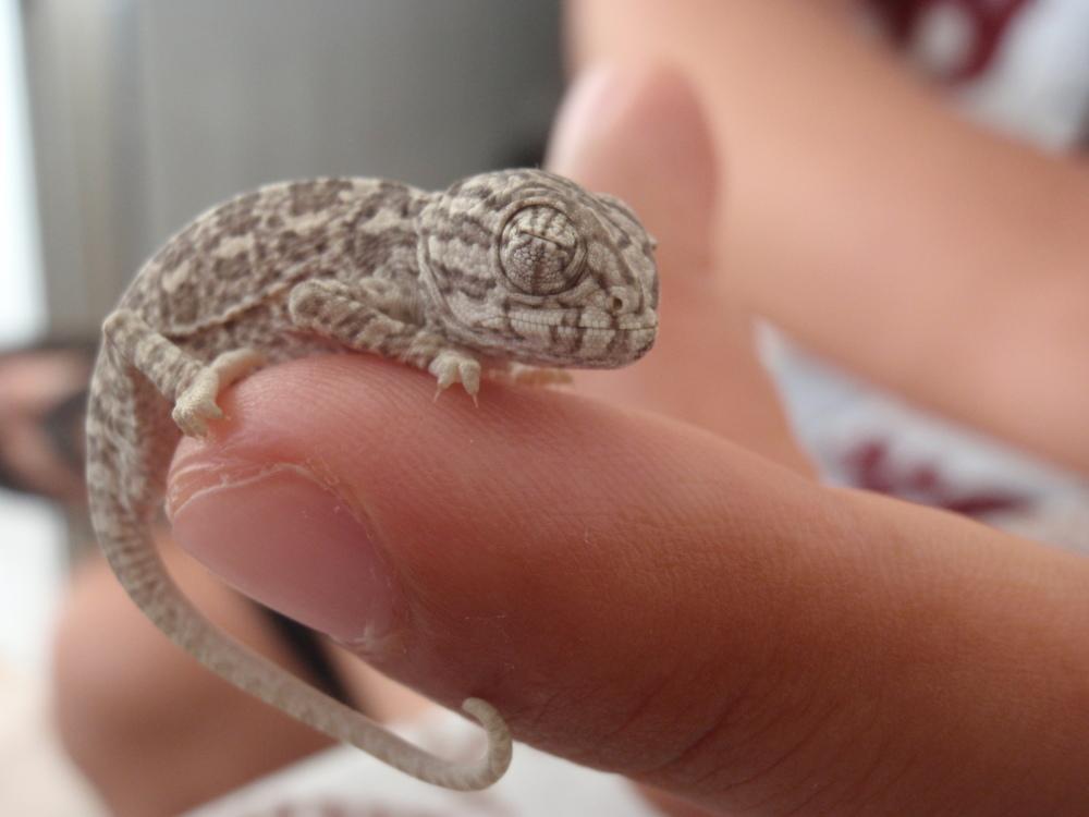 Pequeno camaleão