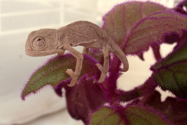 Pequeno camaleão (2)