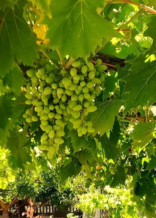 Cacho de uvas