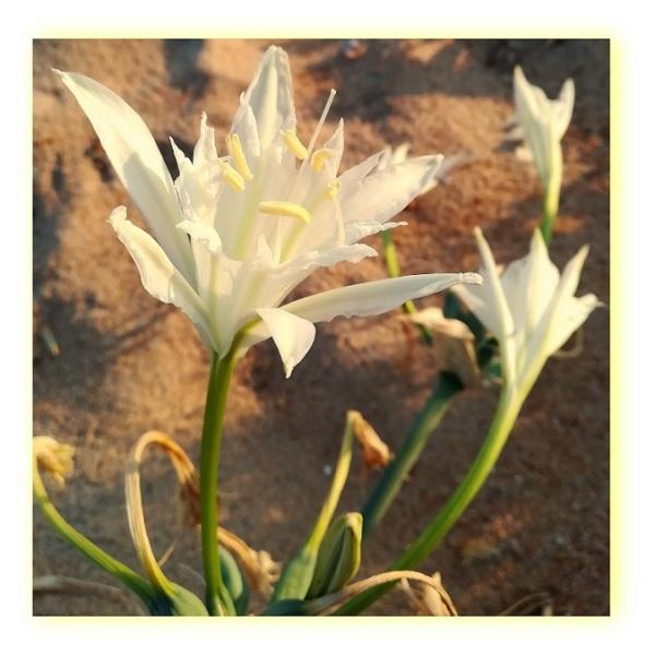 Pancratium maritimum (Lírio-das-praias)