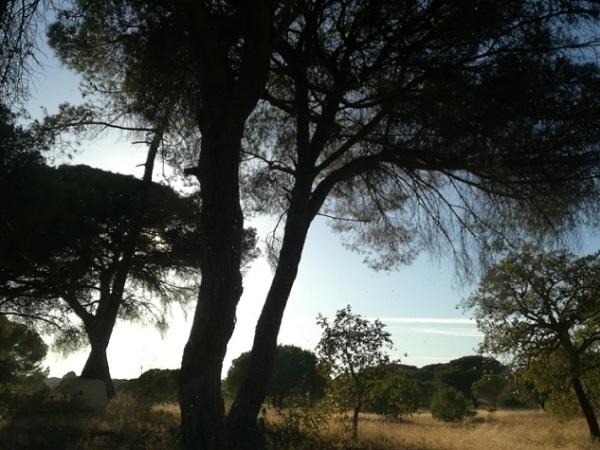 Na sombra do pinheiro
