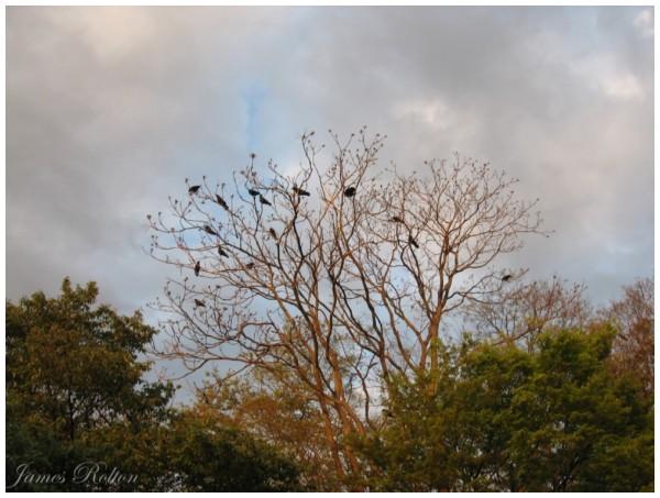 Crowing
