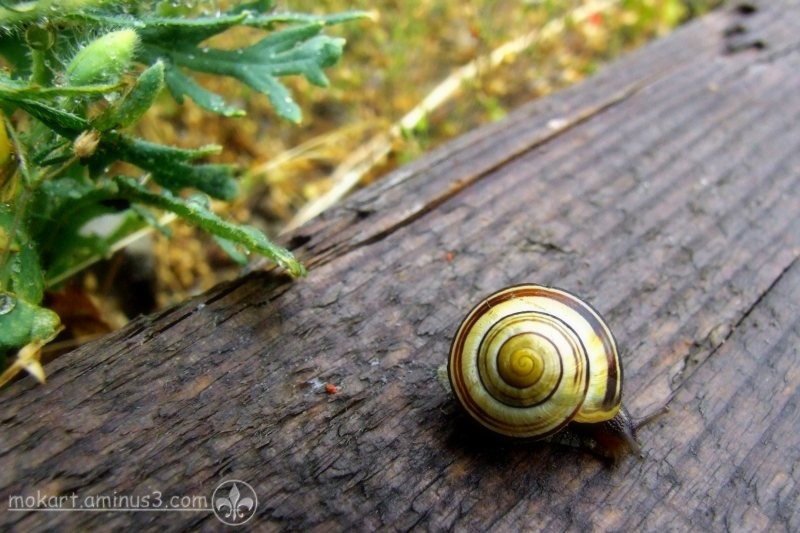 A Yellowish Snail