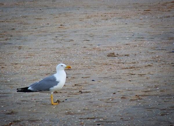 Gaviota en la playa
