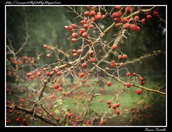 Berries - Bayas