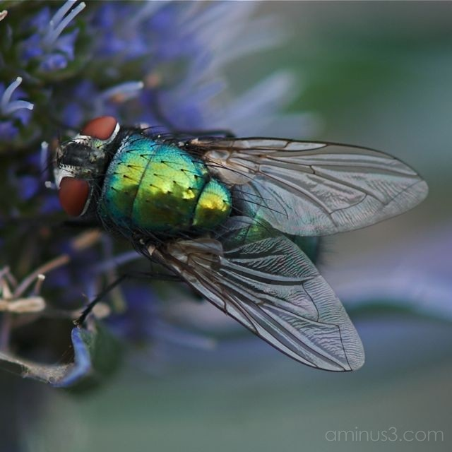 Greenbottle