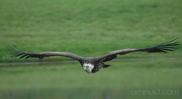flying vulture