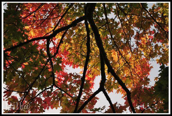 redness tree