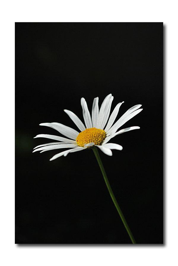 my daisy