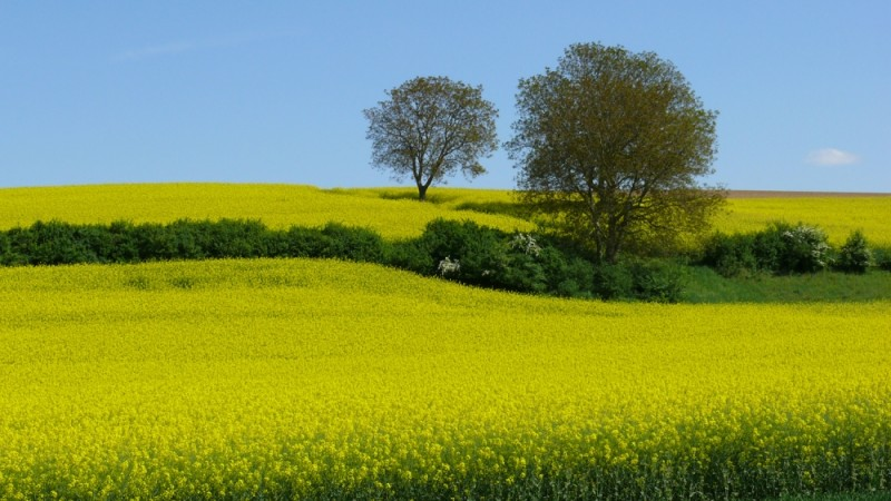 Yellow-meadow