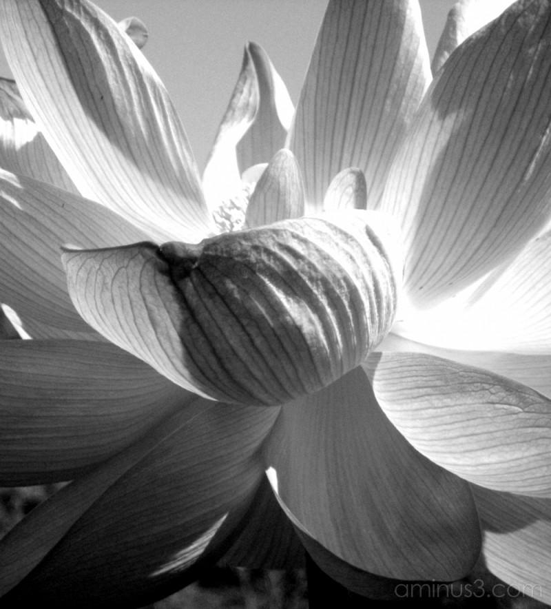 Water Lilies at Kenilworth Aquatic Gardens