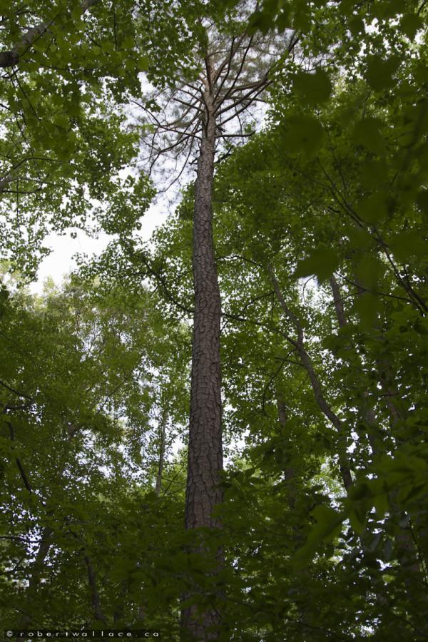 Tall Trees of Atlanta