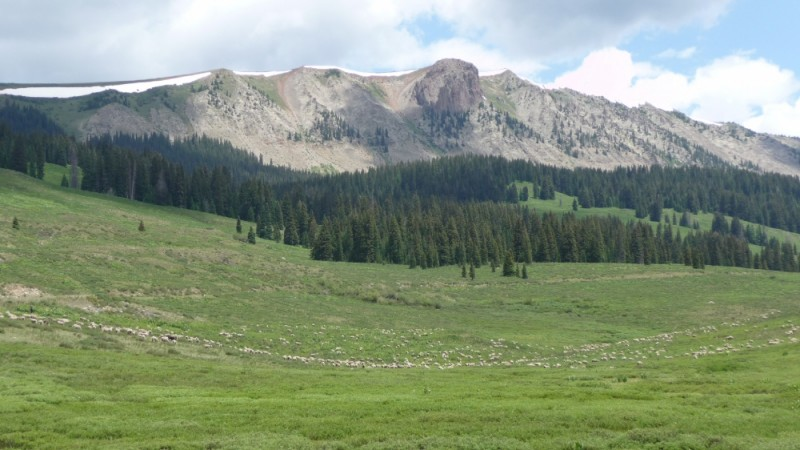 Sheep moving around Lizard Head Pass