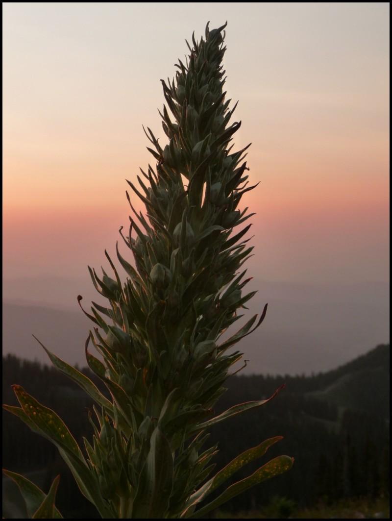 Elkweed