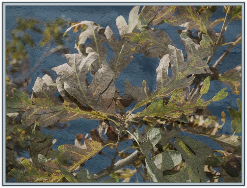 White Oak Acorns 2