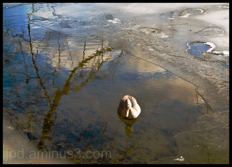 Lost Duck?