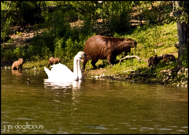 Capybara with babies