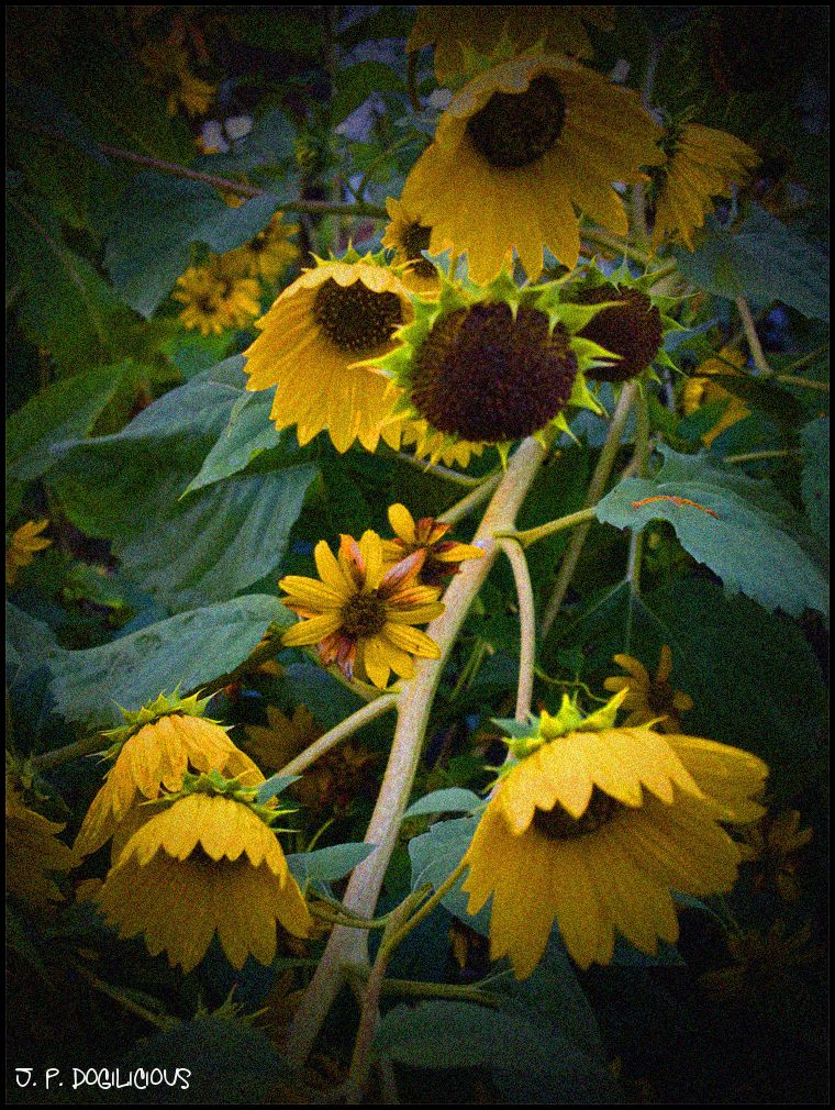 Playing with Sunflowers