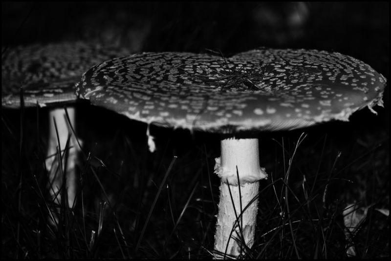 Toadstool or Mushroom