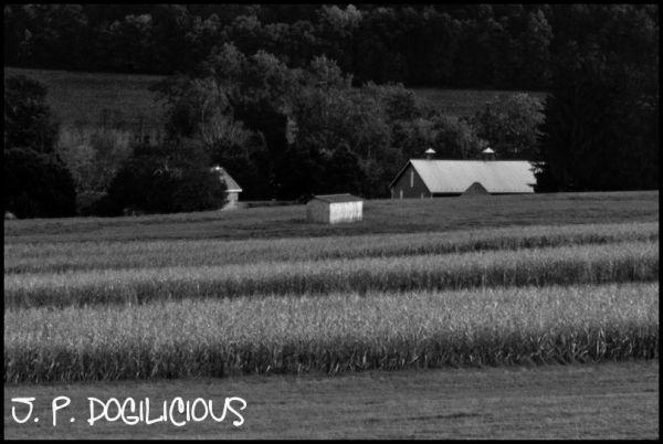 Across the Corn