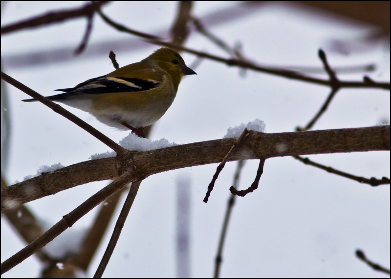 One More Goldfinch