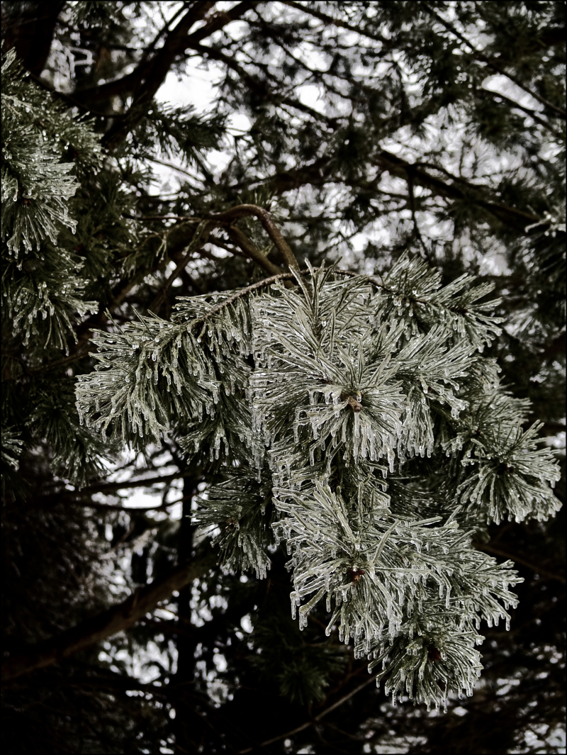 Frozen Pines